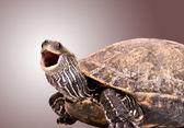 Fotografie želva s otevřenými ústy
