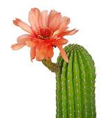 kaktusz piros virágokkal elszigetelt fehér background