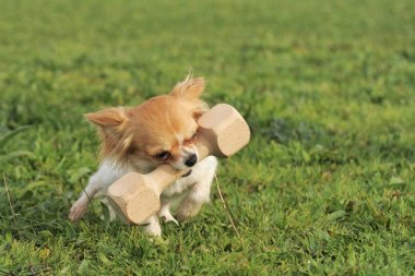 Puppy chihuahua and stick