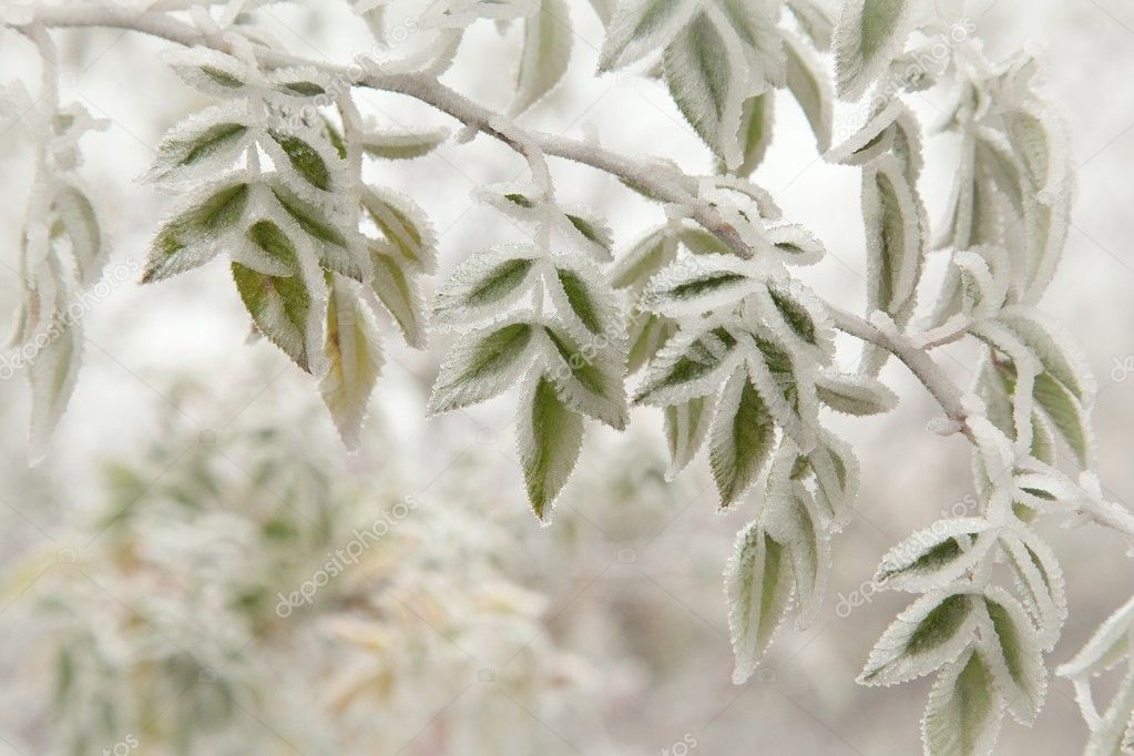 Close up of frosted leaves