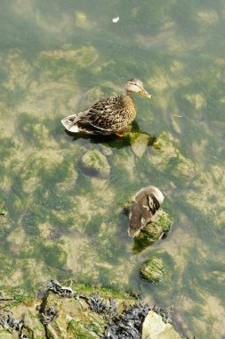Duck with his duckling above water