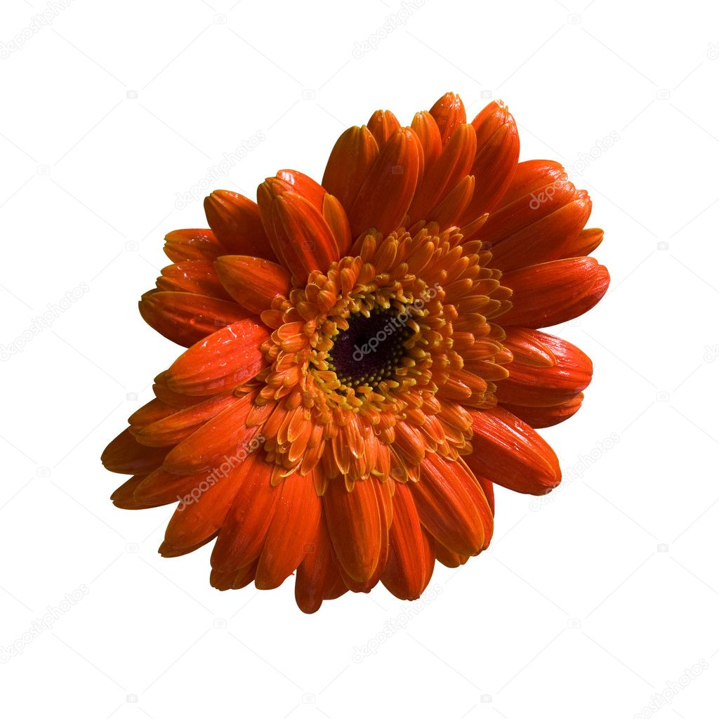 Wet orange flower isolated with clippingpath.