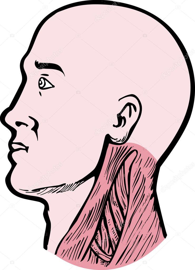 músculos del cuello cabeza de anatomía humana — Fotos de Stock ...
