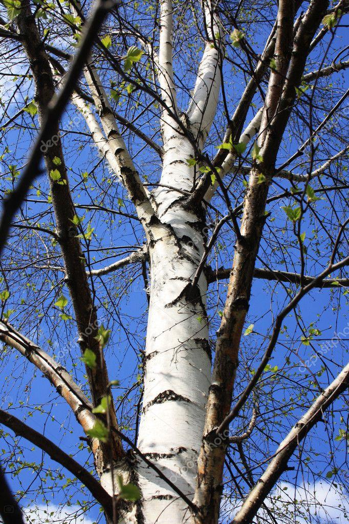 Silver birch coppice