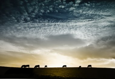 Herd of cows against dramatic sunset