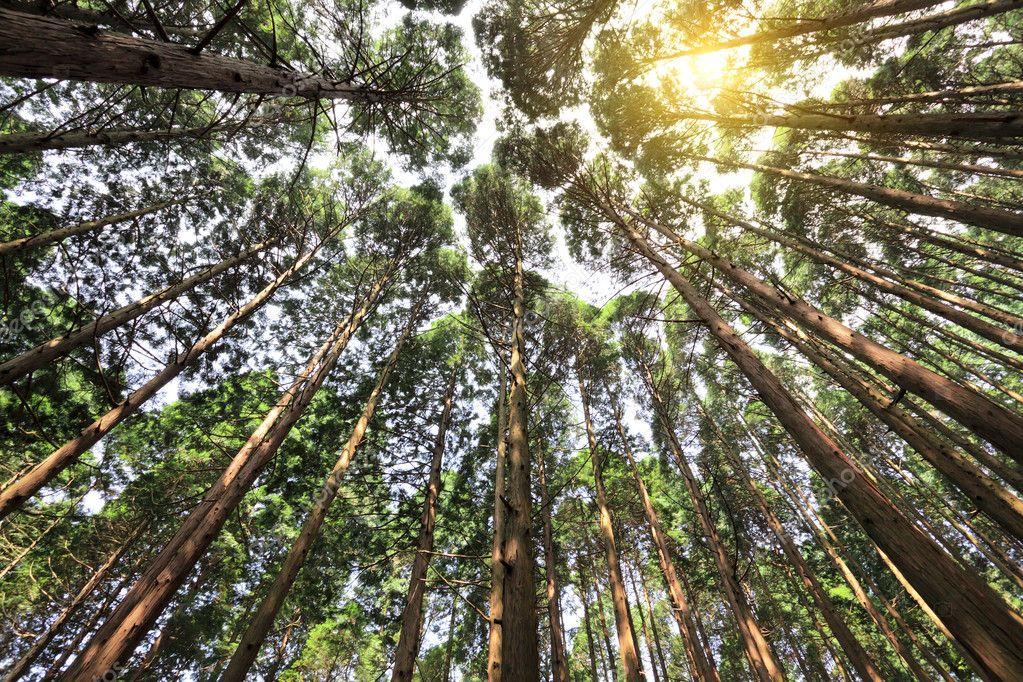 Tall cedar forest