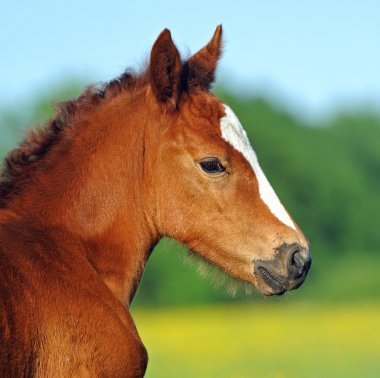 Mares and foals in the