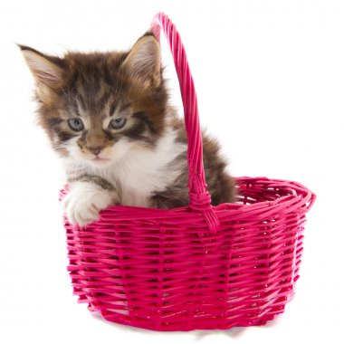 Playing Maine Coon kitten