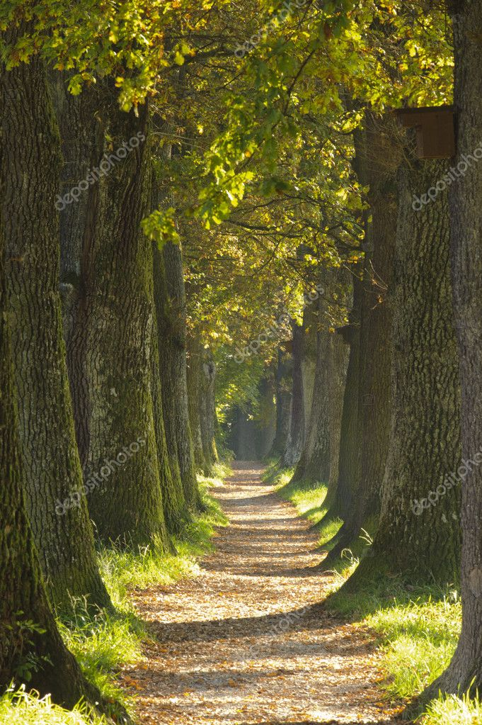 Alley with oak trees