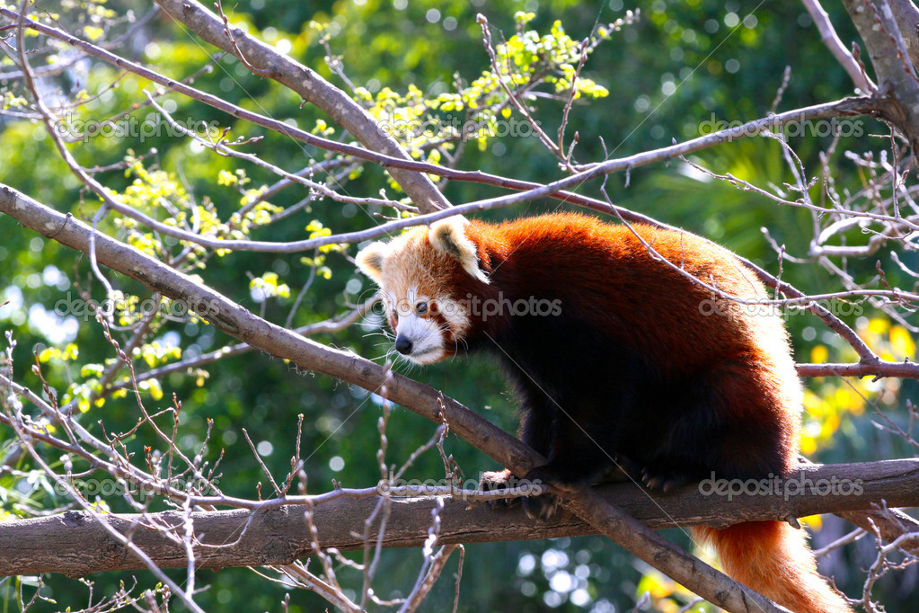 Red Panda sitting in Tree - Ailurus fulgens