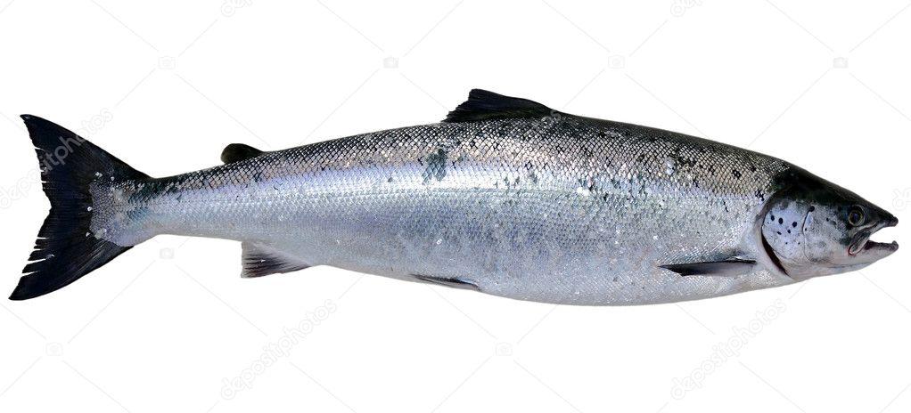 Wild Baltic salmon