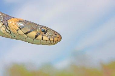 Funny grass snake