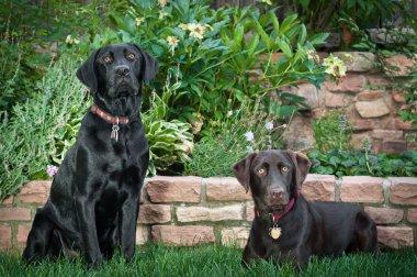 Black and Chocolate Laboradors sitting on grass