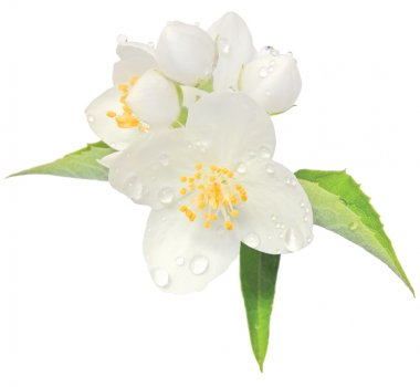 Jasmine flower mock orange blossom macro closeup isolated, Philadelphus