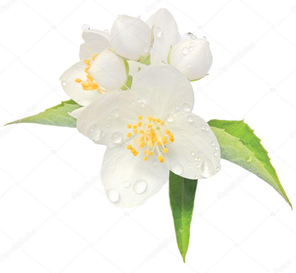 Jasmine flower mock orange blossom macro closeup isolated, Philadelphus