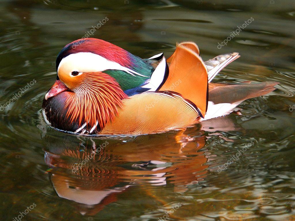 Mandrian Duck 2