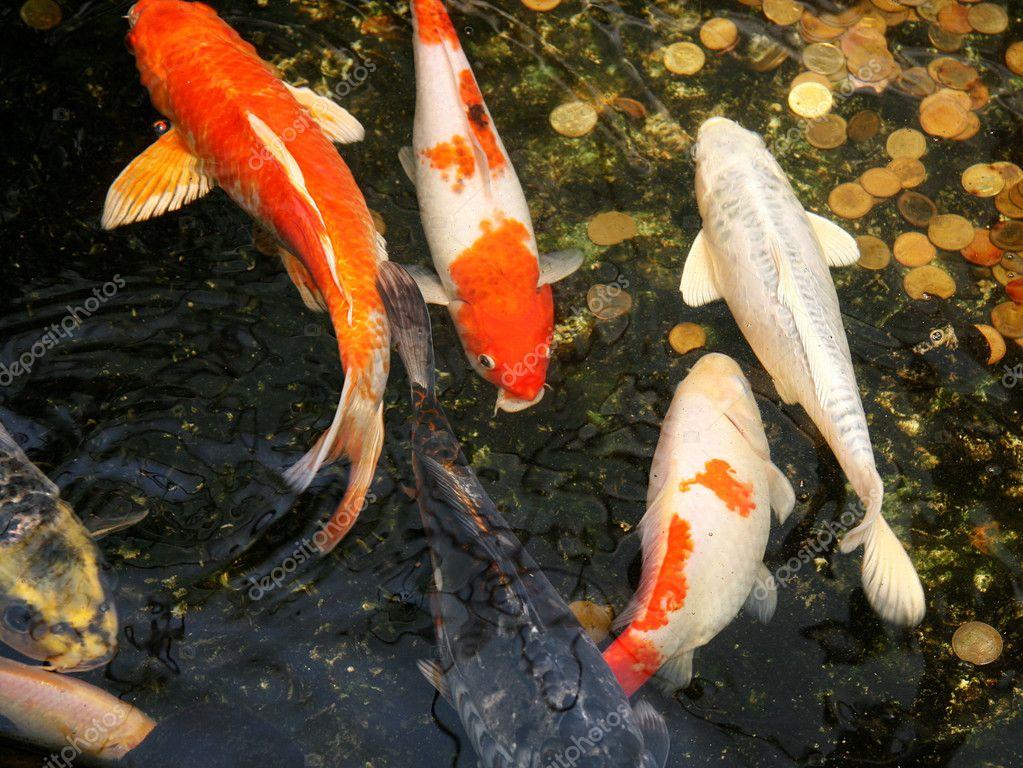 pez carpa koi en agua u fotos de stock