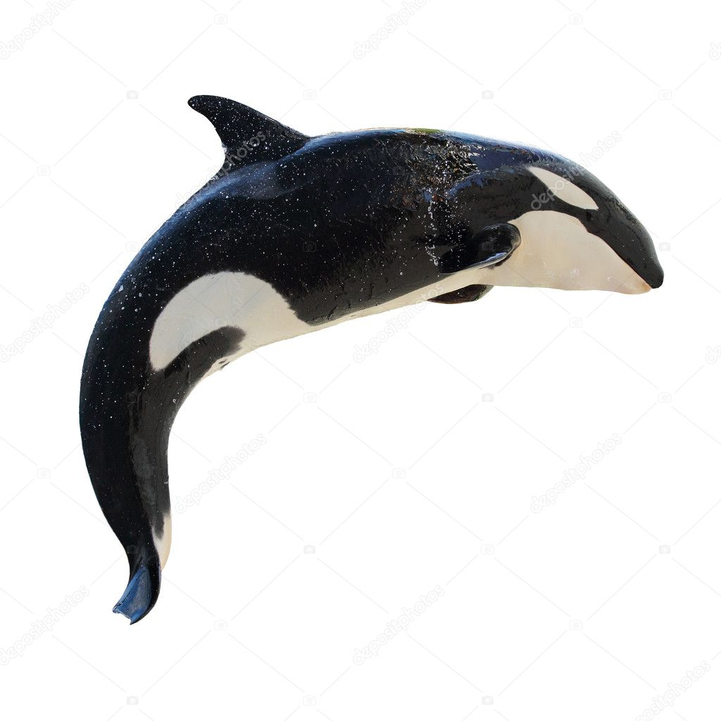 Leaping KillerWhale, Orcinus Orca