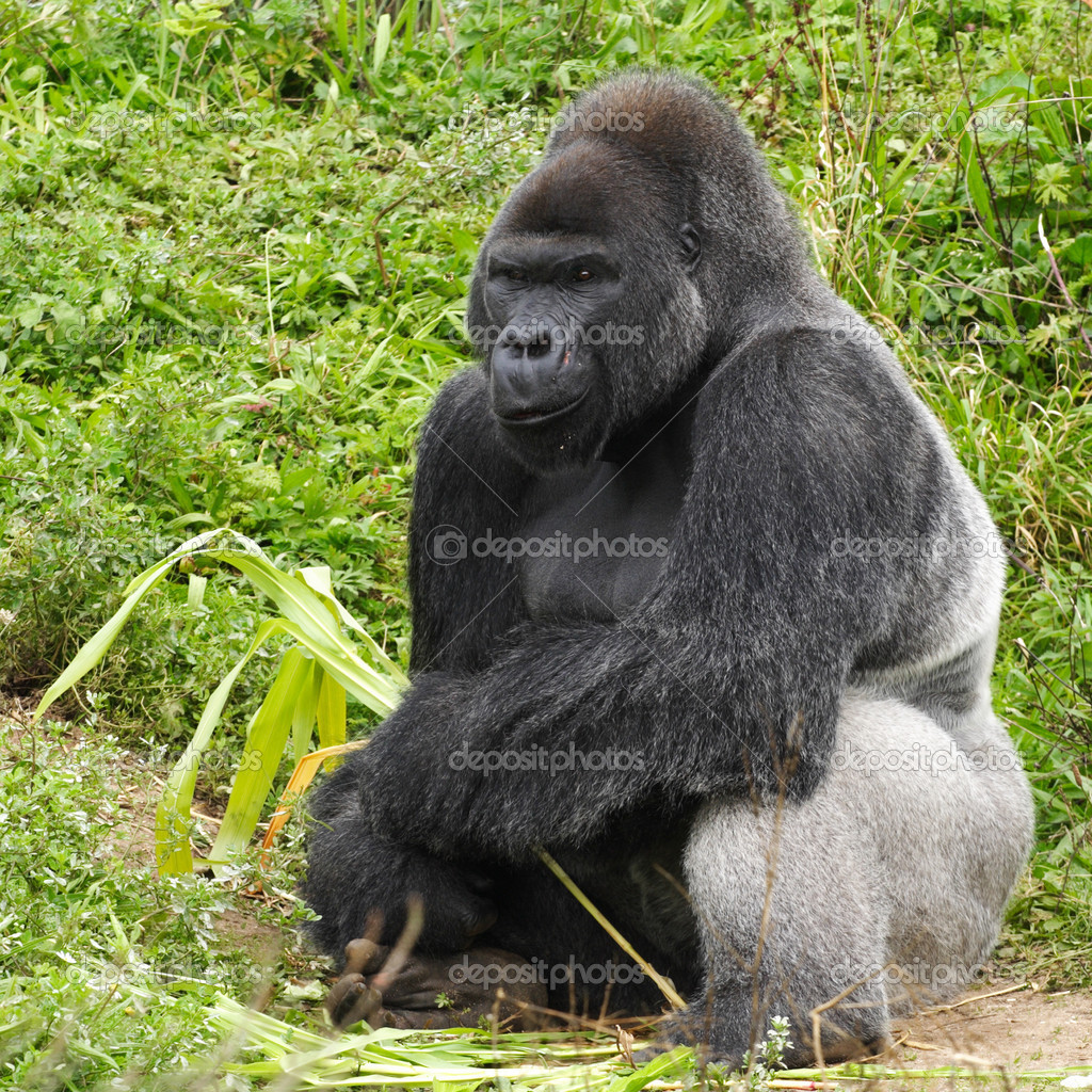 An adult siverback male gorilla