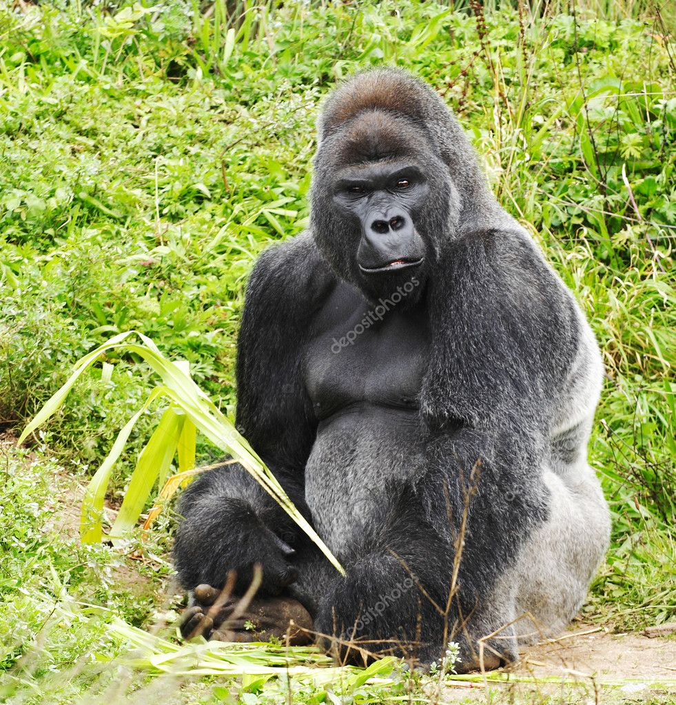 A male silver back gorilla