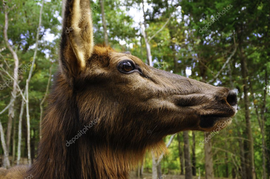 Elk profile stock photo blfink 7664890 a closeup profile shot of a female elk photo by blfink publicscrutiny Image collections