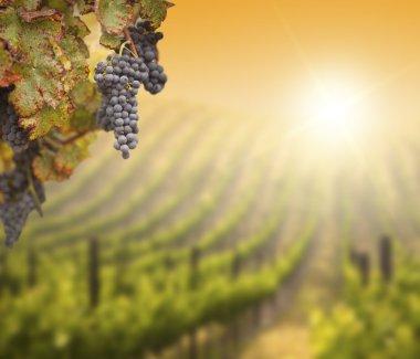 Lush Grape Vine with Blurry Vineyard Background
