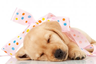 Labrador puppy wrapped in a pink ribbon