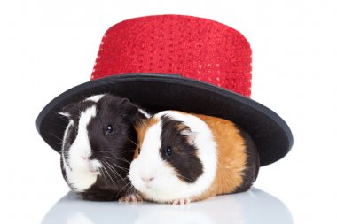 Two guinea pigs with a magician hat