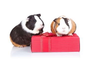 Guinea pigs sitting on a gift