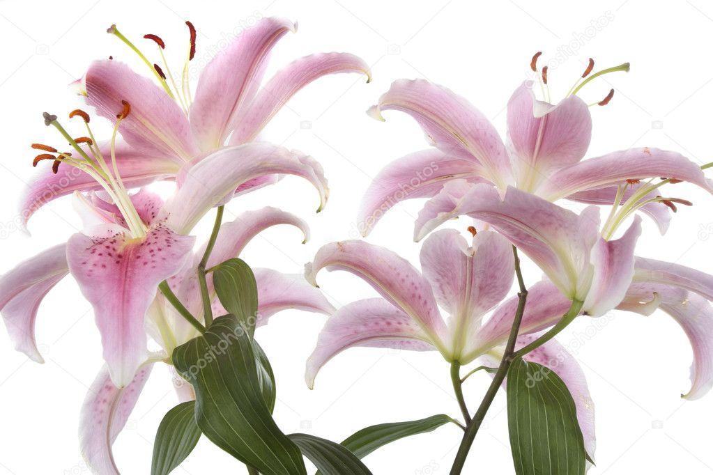 rosa Lilie Blume Detail Blüte weiß — Stockfoto © Strobos #7426267