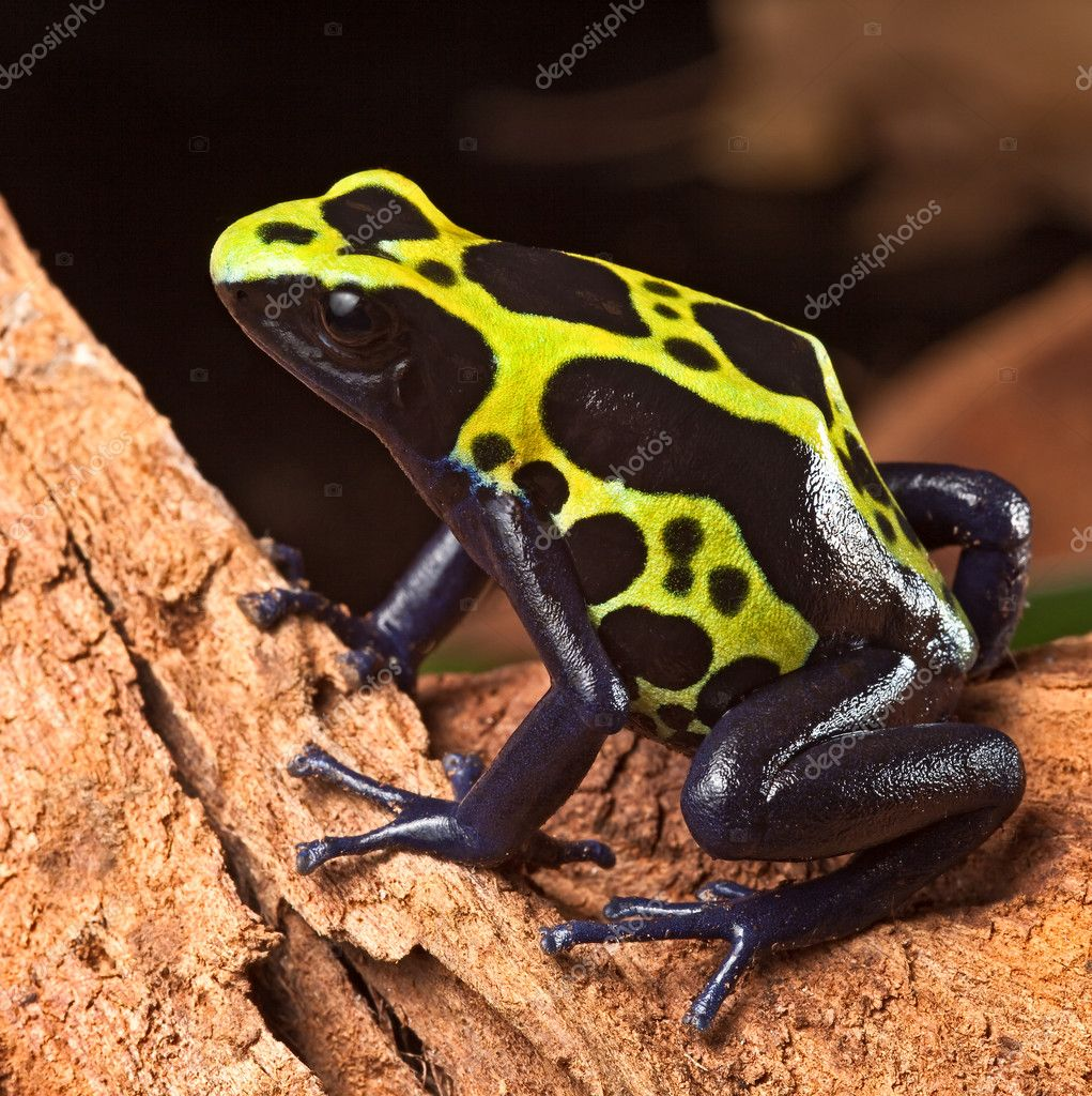 Vergiften Dart-Frosch — Stockfoto © kikkerdirk #7324423