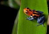 Fotografia rosso striato di cosce di rana blu del dardo velenoso
