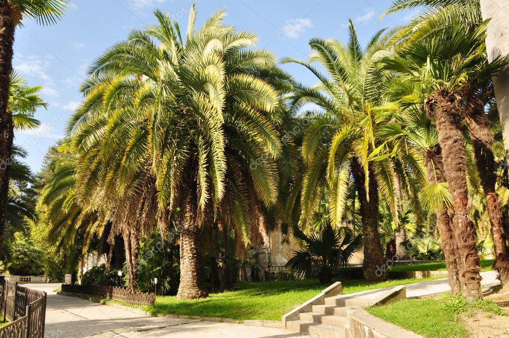 Palm trees in Sochi Arboretum