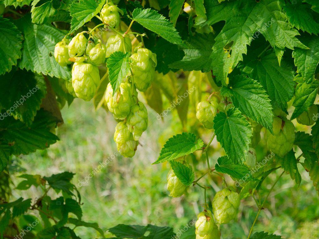 Ripe wild hops