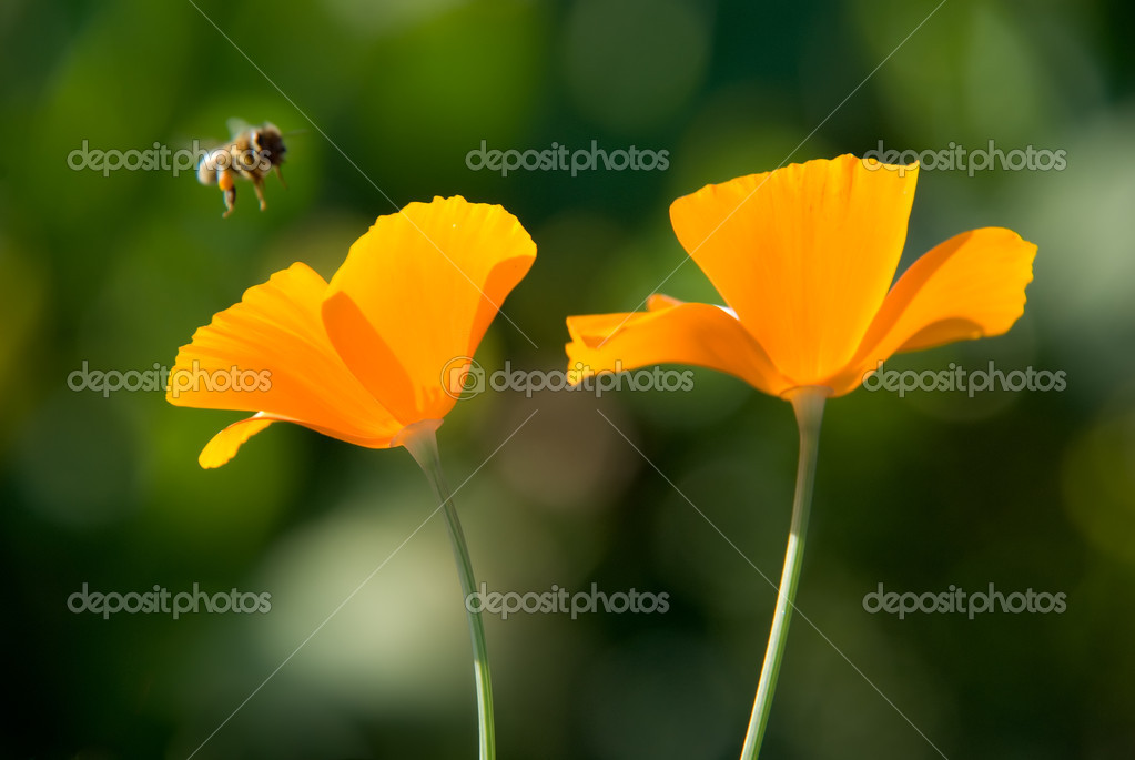 Orange flowers and flying bee