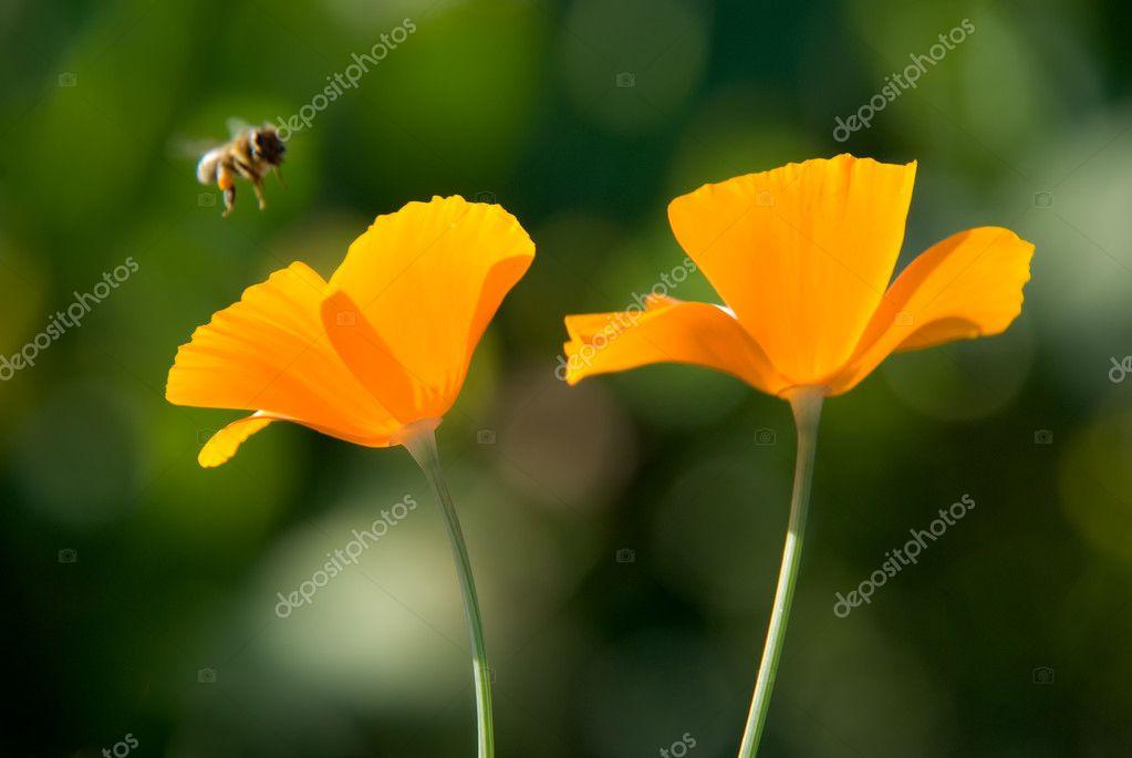 Orange flowers and flying bee