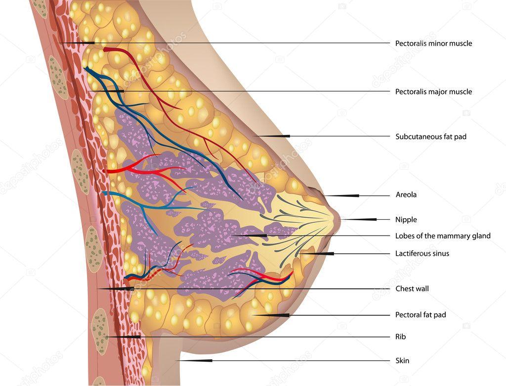 Anatomía de la mama. ilustración vectorial — Vector de stock ...