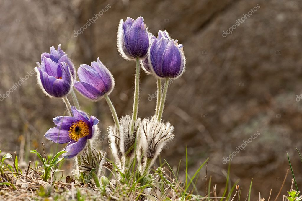 Eastern pasqueflower flowers