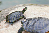 Photo Turtle