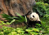 Photo The Panda