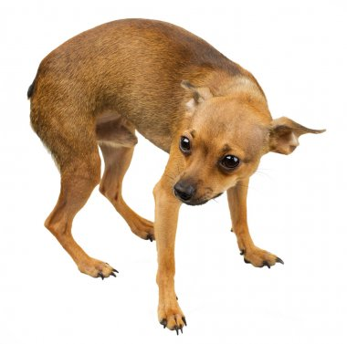 Dog mini - Russian toy terrier