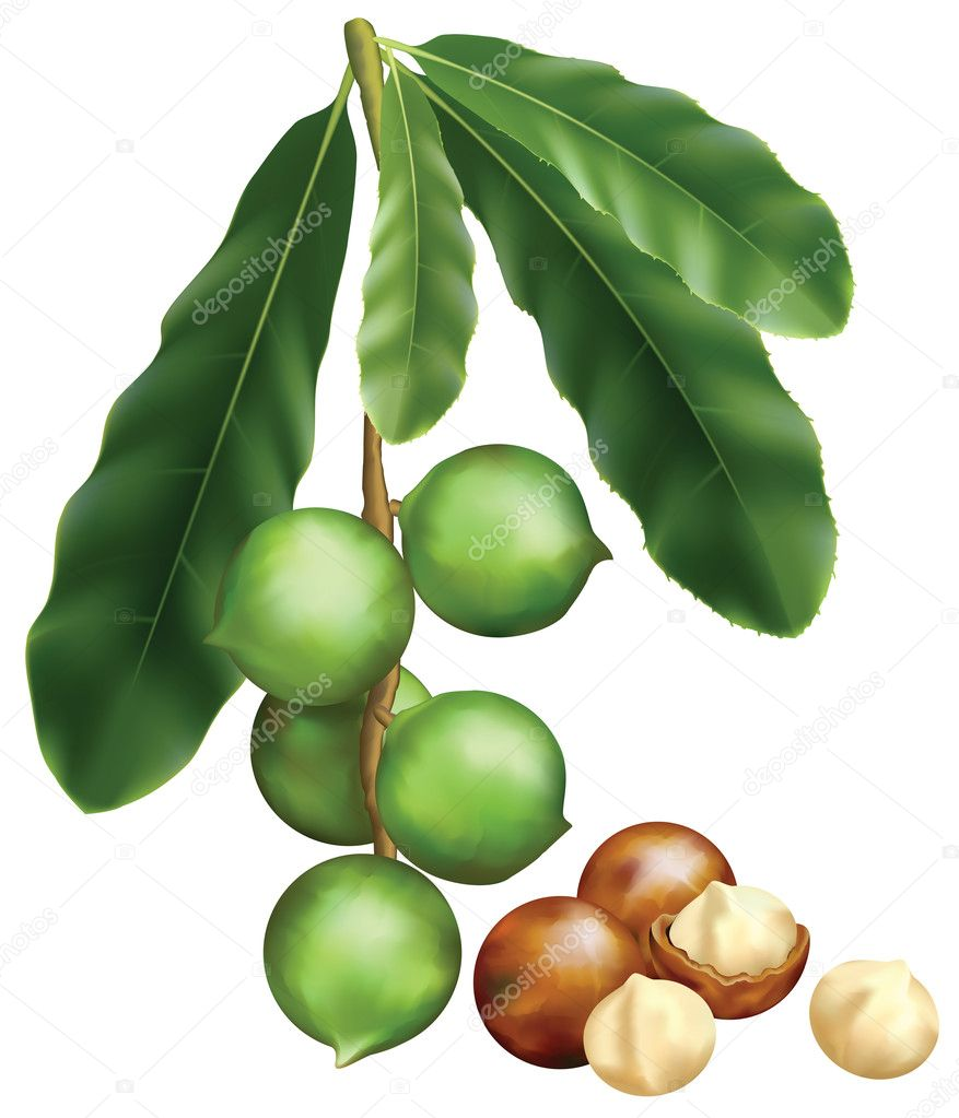 Leaves and fruits of Macadamia. Vector illustration on a white b