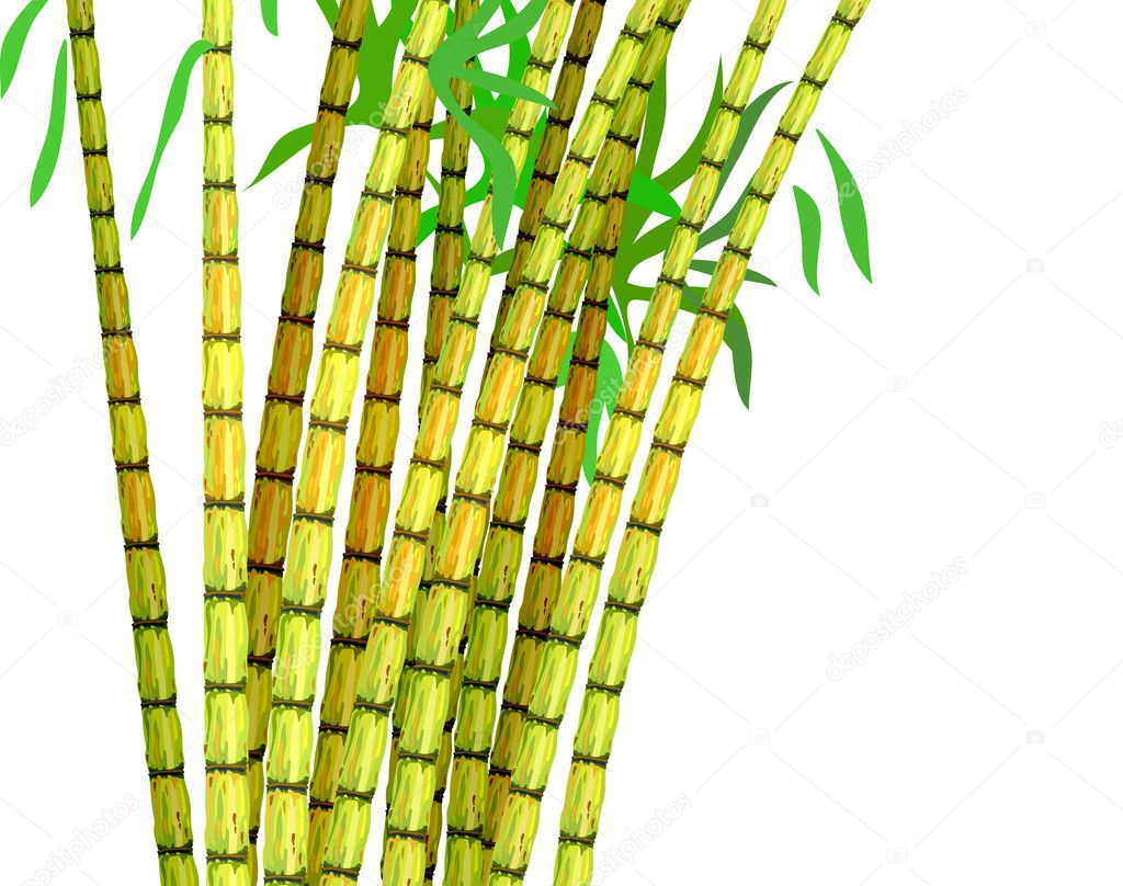 Plant of sugar cane.
