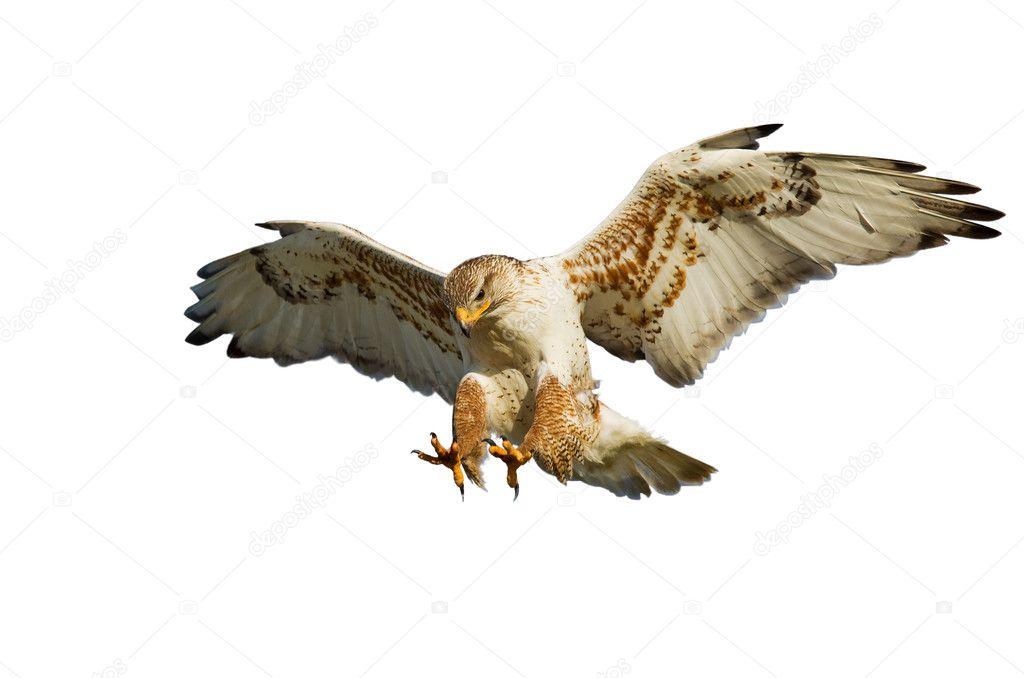 Hawk on white