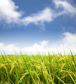 Photo Paddy rice field with cloud background