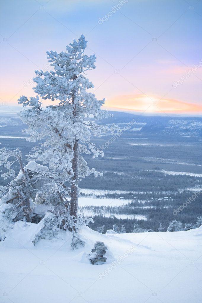 Snowy tree at dawn / winter morning