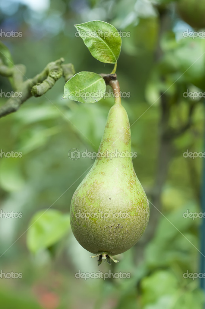Pear on the tree, variety Conference, close up