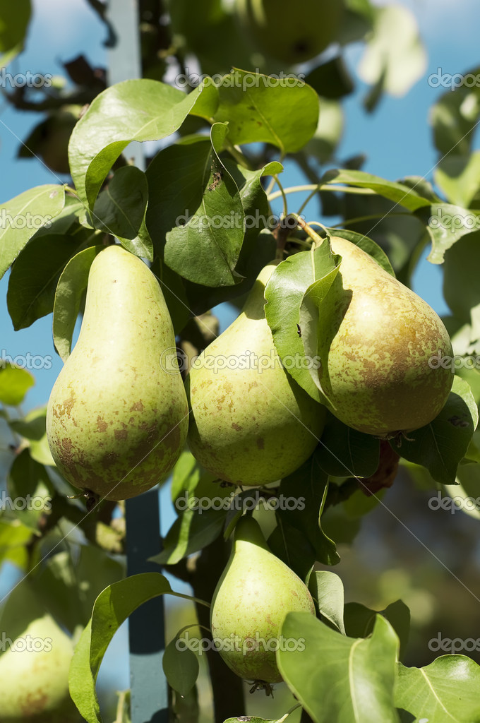 Pears on the tree, variety Conference , close up