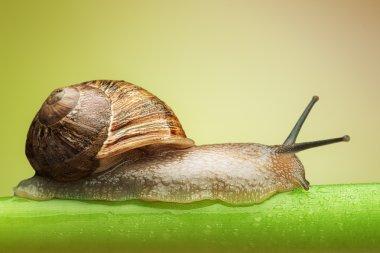 Snail on green stem
