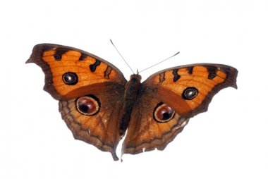 Peacock pansy butterfly, Junonia almana